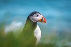 Nature-Photography-The-Painted-Puffin